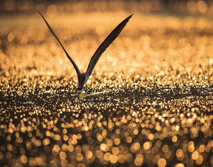 """Mit Selektiver Schärfe den Blick fokussieren. Der Scherenschnabel beim Fischen - kommt es zum Kontakt der unteren, längeren Schnabelhälfte mit einem Beutefisch, schließt sich die """"Schere"""" und der Vogel fliegt mit dem Fisch auf. Hier hat Cullmann einen passenden Schärfekorridor gewählt, um den Betrachter auf den Vogel zu konzentrieren, ohne das Tier in seiner Bewegung aus dem Fokus zu verlieren. Die Spiegelungen an der Oberfläche rühren laut Cullmann von winzigen Gasbläschen und der Oberflächenspannung des Wassers her. // Canon EOS-1D X mit EF 4/500 mm L IS II USM / ISO 500 / f/5 / 1/3.200 s"""