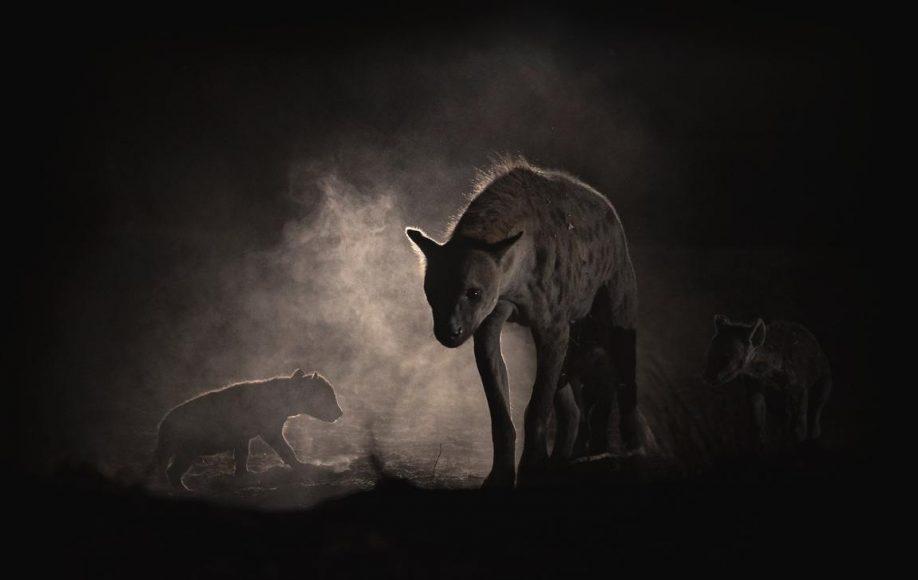 Die Hyäne mit ihren beiden Jungen, im Okavangodelta, befindet sich ganz in der Nähe ihres Baus. Solche Aufnahmen sind nur mit ausreichender Ortskenntnis bedingt planbar. Durch ihre Bewegung haben die Tiere Staub aufgewirbelt, der von hinten (vis-à-vis zum Fotografen) beleuchtet wurde. Mit dieser Aufnahme hat Jens Cullmann einen zweiten Platz beim diesjährigen Oasis-Wettbewerb in Italien, in der Kategorie Säugetiere, erreicht. || Canon EOS-1D X Mk. II mit EF 2,8/300 mm L IS II USM | ISO 1.600 | f/2,8 | 1/200 s