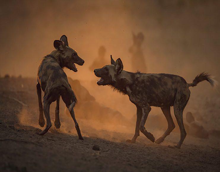 Der frühe Fotograf macht die besseren Bilder. Die hochsozialen Wildhunde (mit einem Alphaweibchen) fingen vor Sonnenuntergang an zu spielen. Eine Art Begrüßungszeremonie, bevor es zur gemeinsamen Jagd geht. Diese Aufnahme gelang dem Fotografen nur, weil er sich lange vorher so positioniert hatte, dass die Tiere keine Scheu vor ihm hatten und er gegen die untergehende Sonne fotografieren konnte. // Canon EOS-1D X mit EF 4/500 mm L IS II USM / ISO 640 / f/4 / 1/1.000 s / - 2/3 EV