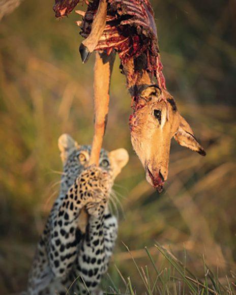 Das typische Verhalten seiner Motive zu kennen, hilft dem Wildlife-Fotografen bei der Planung. Diesen Leoparden kennt Cullmann schon seit dessen Geburt. Hier ist er etwa ein Jahr alt, heute eine ausgewachsene Wildkatze. Die Schwarzfußantilope hatte der Jäger bereits am Vorabend gerissen und dann auf einen Baum gebracht, damit ihm niemand seine Beute streitig macht. Auf dem Foto spielt der satte Leopard nur noch mit seinem Opfer, ein Glück für den Fotografen, der von dem Tier schon am Vorabend Aufnahmen gemacht hatte. // Canon EOS-1D X Mk. II mit EF 2,8/300 mm L IS II USM / ISO 800 / f/2,8 / 1/1.250 s / + 1/3 EV