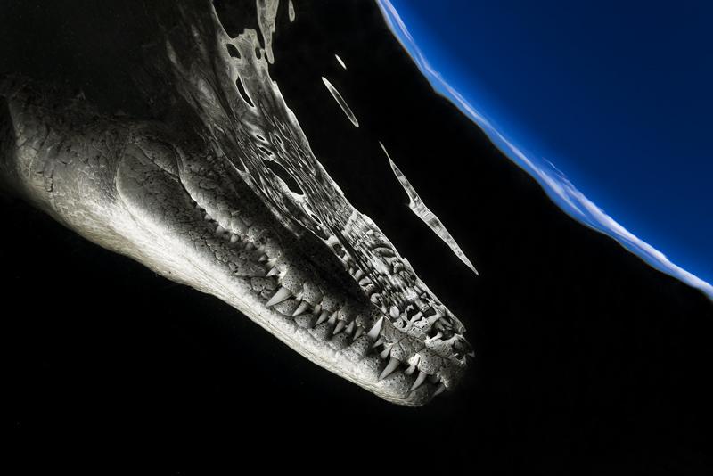 """Naturfotografie kann auch Kunst sein: Mit seinem """"Weltraum-Krokodil"""" erreichte der Mexikaner Alejandro Prieto beim Glanzlichter- Wettbewerb in der Kategorie """"Diversity of all other Animals"""" den Hauptpreis. © Alejandro Prieto / Glanzlichter"""