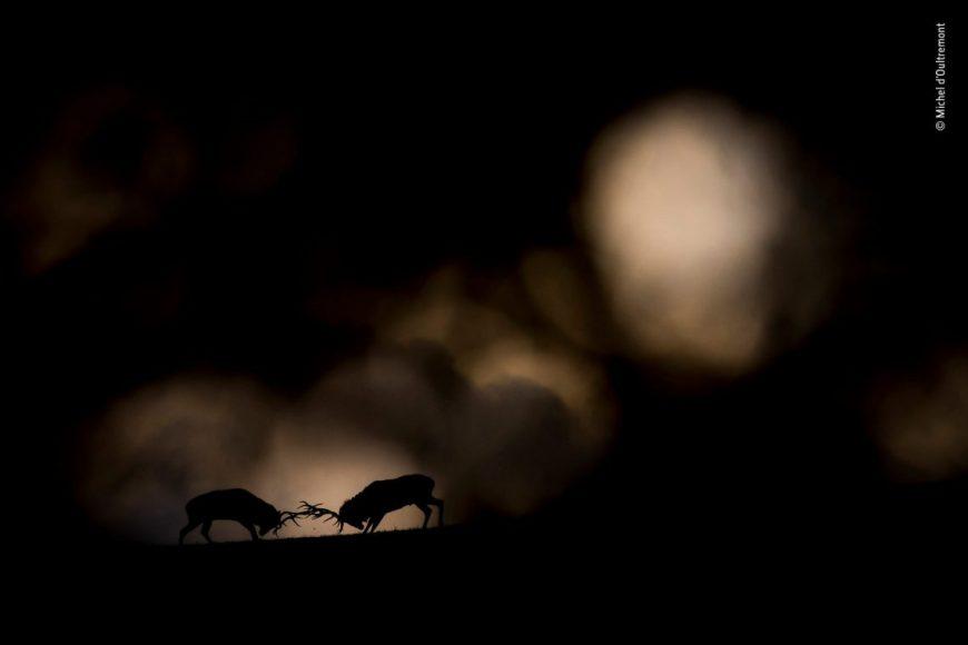 """Es ist nicht das erste Mal, dass der Tierfotograf Michel d'Oultremont die Jury eines Wettbewerbes überzeugen konnte. Sein Foto """"Traumduell"""" erlangte diesmal den """"Rising Star""""-Portfoliopreis beim Wildlife Photographer of the Year Award. © Michel d'Oultremont / Wildlife Photographer of the Year 2018"""