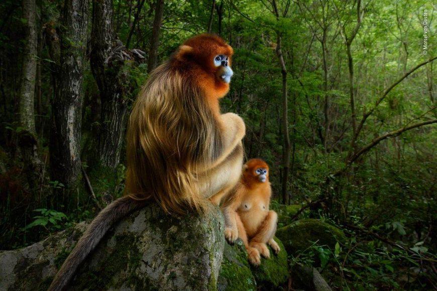 """Marsel van Oosten erhielt mit seinem Bild """"Das goldene Paar"""" eine der begehrtesten Auszeichnungen überhaupt: Naturfotograf des Jahres beim Wildlife Photographer of the Year Award. © Marsel van Oosten / Wildlife Photographer of the Year 2018"""