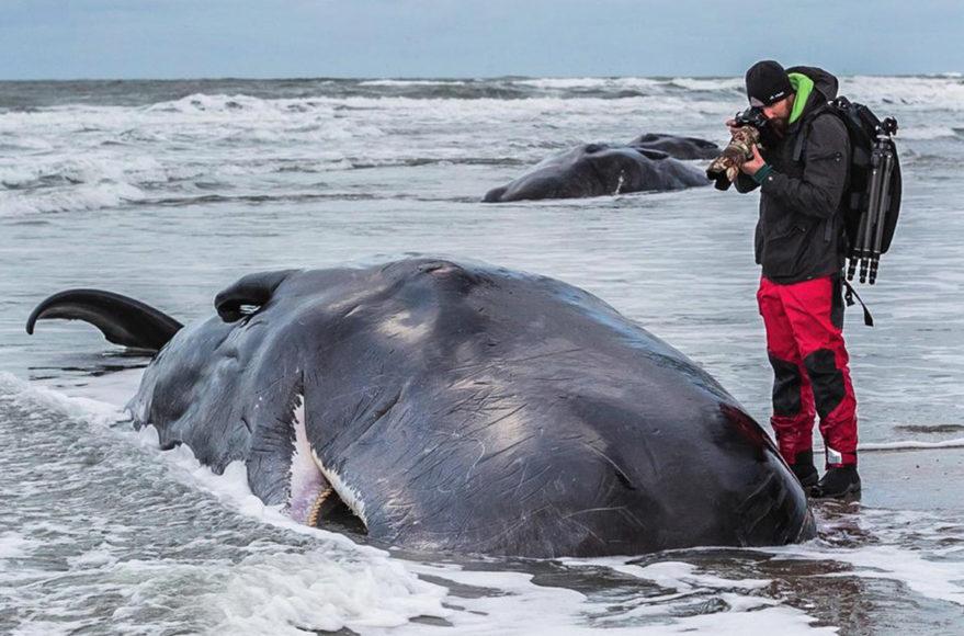 2016 strandeten 30 Pottwale an den europäischen Küsten. Robert war bei den meisten Strandungen dabei, konnte jedoch nur noch dokumentieren. Foto: Christian Howe || ISO 1.250 | f/5,6 | 1/200 s | –0,3 EV | 70 mm