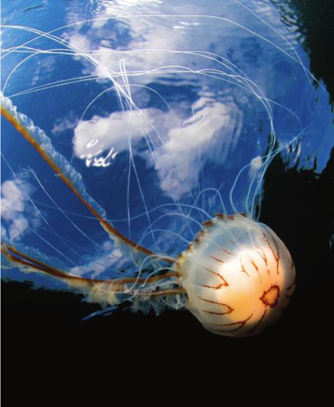 """Als """"vielversprechendster britischer Unterwasserfotograf"""" wurde Malcolm Nimmo mit diesem Foto einer Kompassqualle ausgezeichnet."""