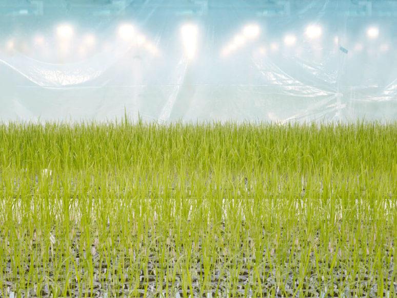 © Henrik Spohler Anlage zur Entwicklung gentechnisch veränderter Reissorten, Belgien.