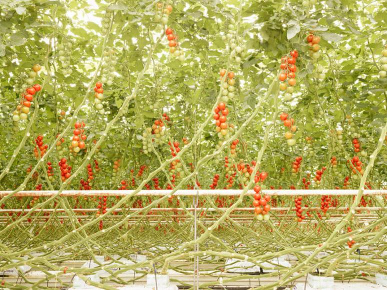 © Henrik Spohler Tomatenrispen in Middenmeer, Niederlande.