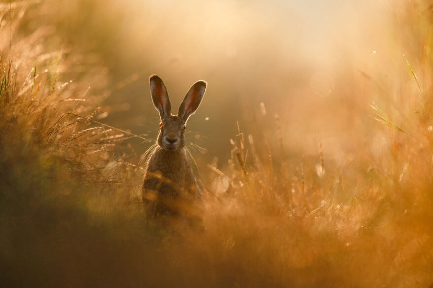 GESAMTSIEGER  © Peter Lindel - A hares dream  Feldhase im Dortmunder Norden
