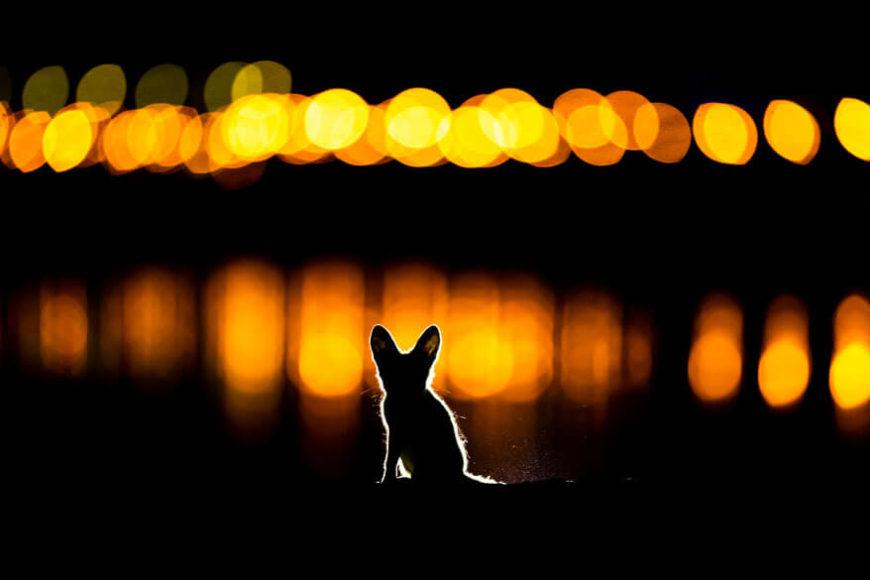 2. PLATZ   SÄUGETIERE  © Mohammad Murad - Glowing fox Arabischer Rotfuchs in Kuwait-Stadt