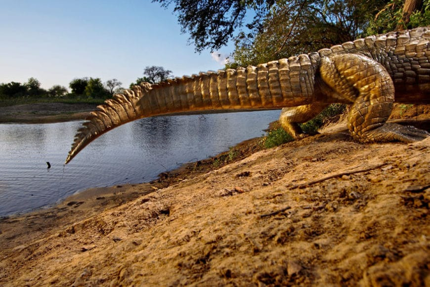 Crocodile, Zakouma National Park, Chad 2006, © Michael Nichols / Edition Lammerhuber