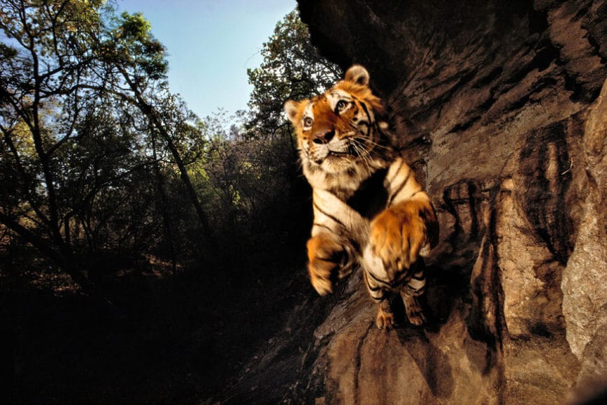 Charger, Bandhavgarh National Park, India 1996, © Michael Nichols / Edition Lammerhuber