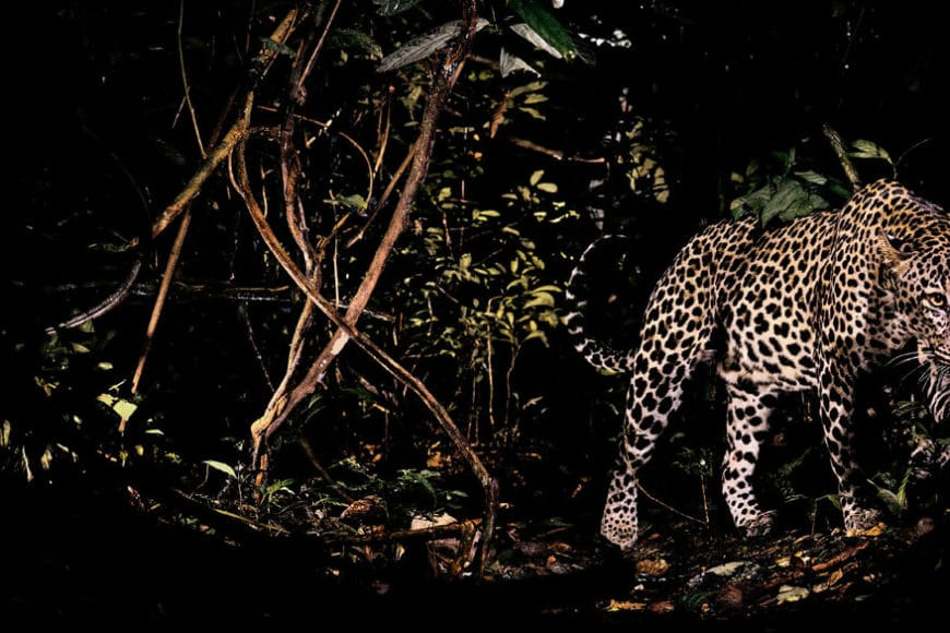 Leopard, Nouabale Ndoki, Republic of the Congo 1990, © Michael Nichols / Edition Lammerhuber