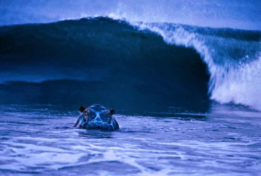 Surfing Hippo, Loango National Park, Gabon 2003, © Michael Nichols / Edition Lammerhuber
