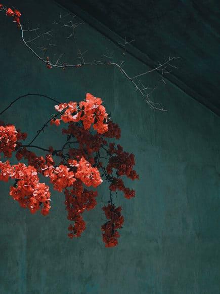 © Sandro Diener, Bougainvillea, Griechenland, 2019