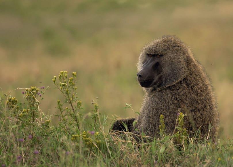 © Manuel Ketterer, Auch oder gerade auf Safari ist die richtige Brennweite das A und O. So kann die weniger spektakuläre Steppe im Hintergrund auf ein Minimum reduziert und das Hauptmotiv komplett in den Fokus gerückt werden