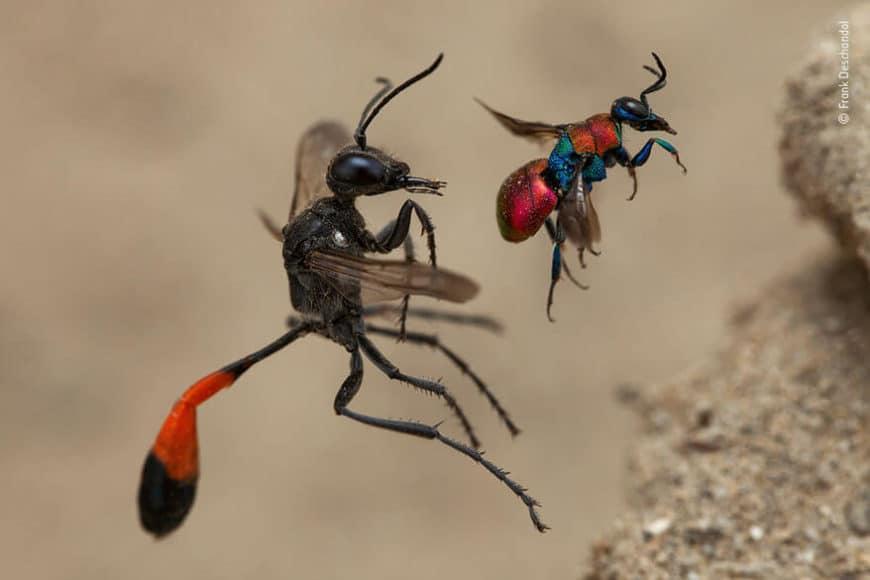 """Verhalten - Wirbellose: © Frank Deschandol (Frankreich) """"Die Geschichte zweier Wespen"""""""