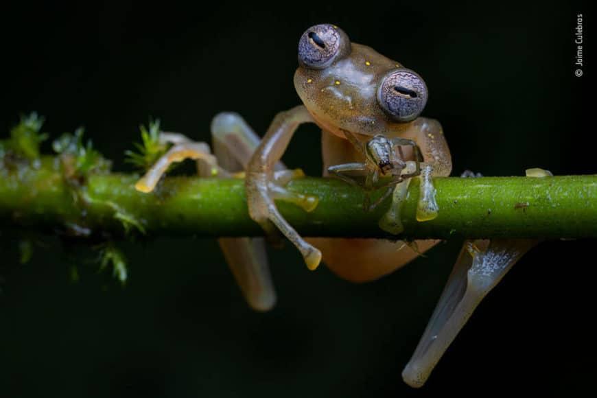 """Verhalten - Amphibien und Reptilien:  © Jaime Culebras (Spanien) """"Biologisches Gleichgewicht"""""""