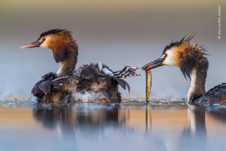 "Kategorie Verhalten - Vögel: © Jose Luis Ruiz Jiménez (Spanien) ""Familie Haubentaucher bei Sonnenaufgang"""