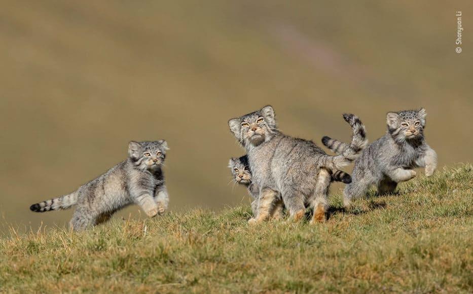 """Verhalten - Säugetiere: © Shanyuan Li (China) """"Nichts wie weg hier"""""""