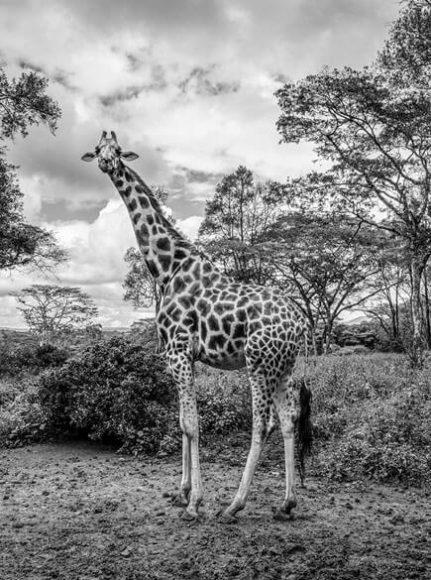 Schwangere Giraffe / © Mario Marino