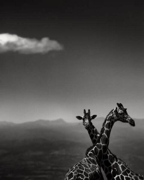 © Joachim Schmeisser, Giraffe couple.