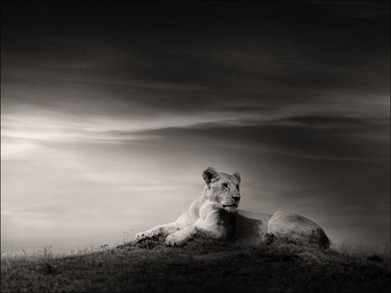 © Joachim Schmeisser, The Lioness.