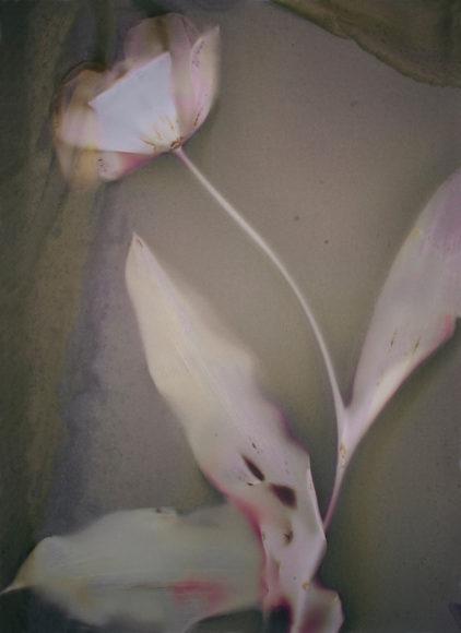 Tulpe © Anna Halm Schudel