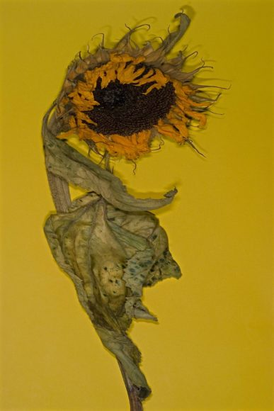 Sonnenblume © Anna Halm Schudel