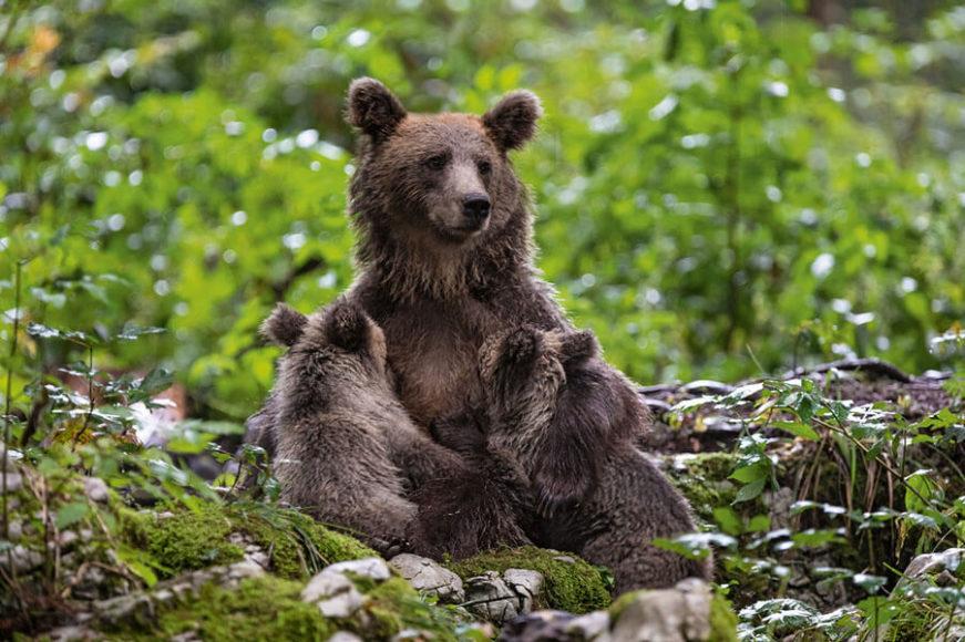 Sogar die großen Beutegreifer lassen sich im Herzen Europas wieder blicken. Braun- bären, wie diese Mutter mit ihren beiden Jungen, sind auf dem Weg zurück in die Alpen. © Christine Sonvilla, Marc Graf/Knesebeck Verlag.