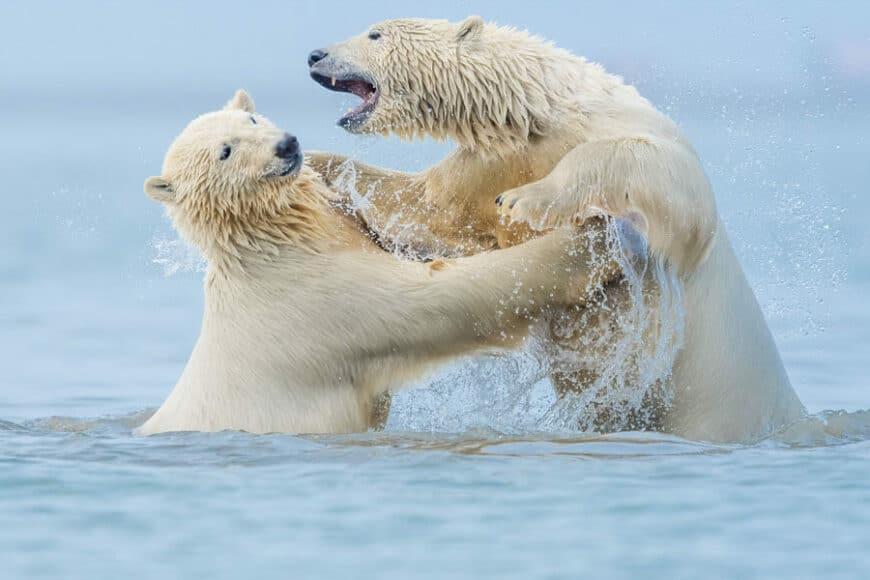© Daryl Balfour, Polar Bears, Kaktovik, Alaska / www.printsforwildlife.org.