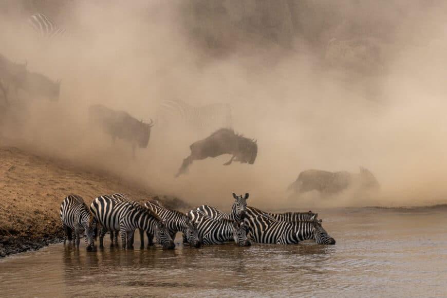 © Ketan Khambhatta, Zebras and Wildebeest, / www.printsforwildlife.org.