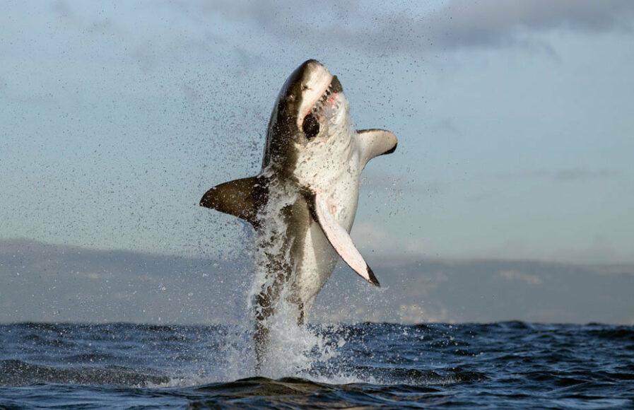 © Chris Fallows, Shark at Seal Island, False Bay, South Africa / www.printsforwildlife.org.
