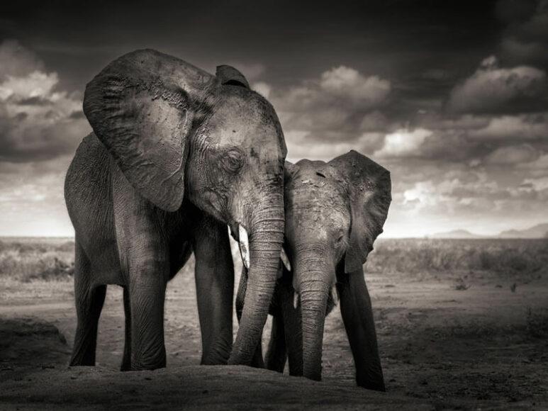 © Joachim Schmeisse, Elephants, Soulmates, 2017, Tsavo East National Park, Kenya, - Tim - Preserver of Peace, 2019, Amboseli National Park, Kenya / www.printsforwildlife.org.