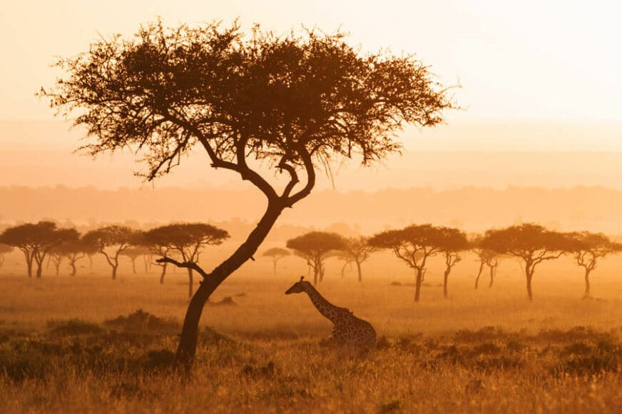 © Marion Payr, Giraffe, Mara Triangle, Masai Mara, Kenya / www.printsforwildlife.org.