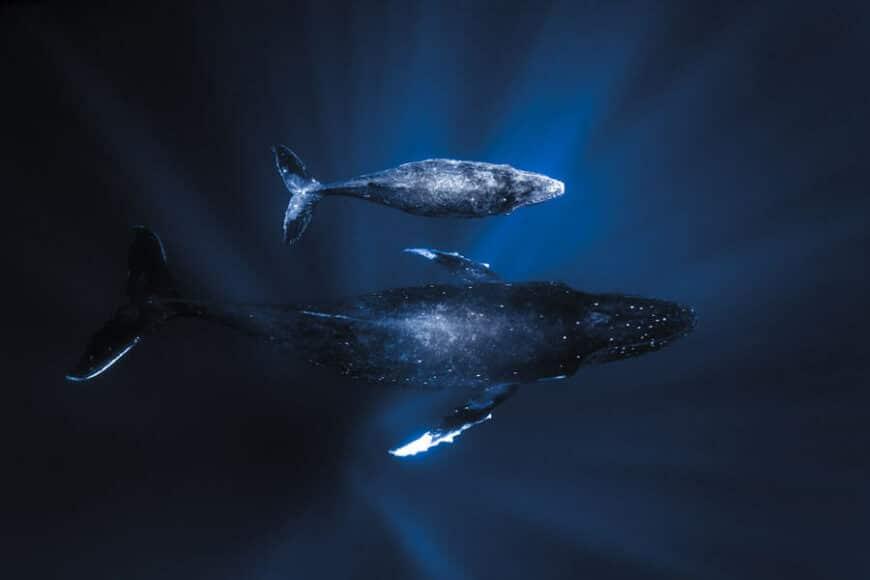 © Jono Allen, Humpback Whales, Tonga   Byron bay / www.printsforwildlife.org.