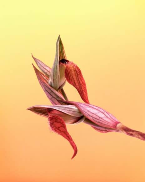 © Erwan Frotin, Serapias neglecta, de la série Flora olbiensis, 2007