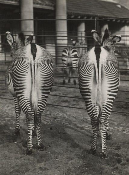 Friedrich Seidenstücker (1882–1966), Ohne Titel (Zoologischer Garten Berlin, zwei Zebras von hinten), 1935 Silbergelatine-Abzug auf Barytpapier 16,3 × 12,2 cm, Eigentum des Städelschen Museums-Vereins e.V., Städel Museum, Frankfurt am Main, Foto: Städel Museum.