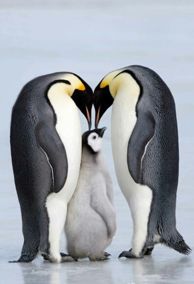 """Kaiserpinguine sorgen in der Antarktis (Weddelmeer, Snow Hill Island) für den Nachwuchs. Die Nahrung wird knapp, weil Fischereiflotten mittlerweile auch in diese Region vordringen, um Krill zu fangen. Dem auf der Roten Liste gefährdeter Arten stehenden Pinguin droht der Hungertod.  © Thorsten Milse / aus dem Buch """"Survivor"""" beim Verlag Tecklenborg"""