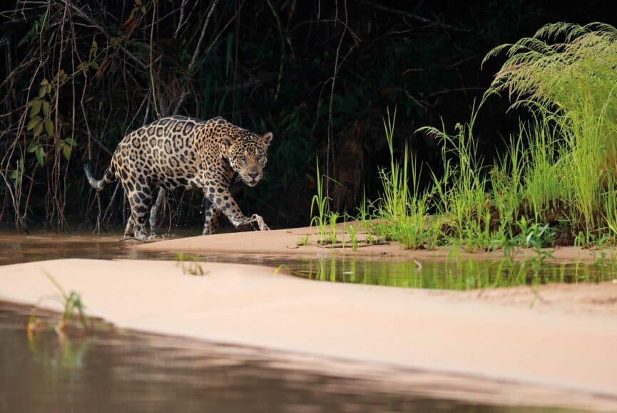 """Der stolze """"El tigre"""" im brasilianischen Pantanal, einem der größten Binnenland-Feuchtgebiete der Erde. Auch das unter Naturschutz gestellte UNESCO-Welterbe ist durch Rodung und Industrialisierung in Gefahr.  © Thorsten Milse / aus dem Buch """"Survivor"""" beim Verlag Tecklenborg"""