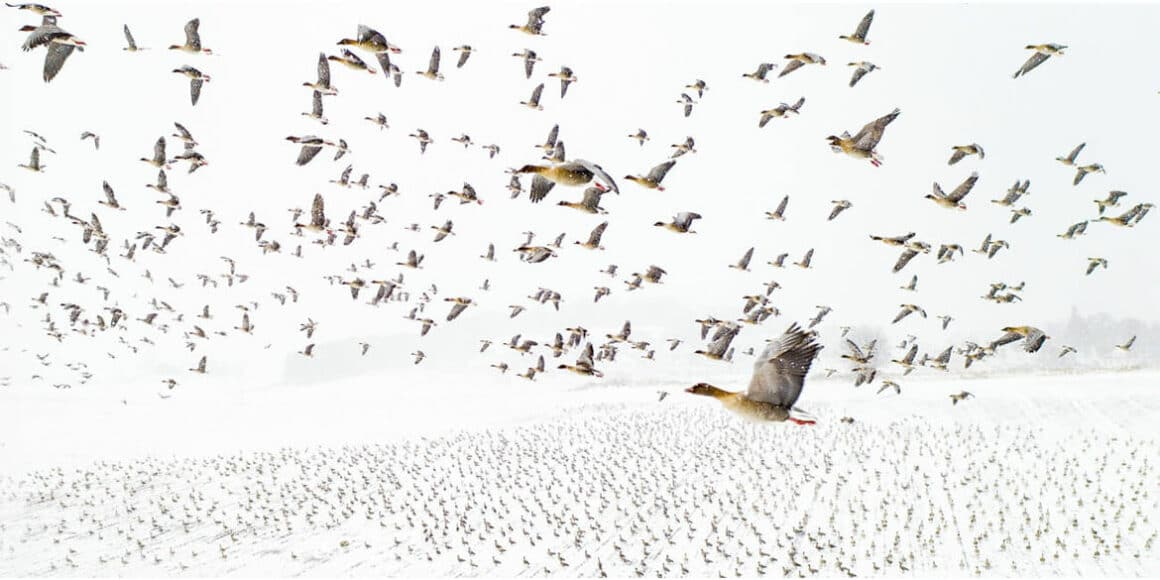 """""""Pink-Footed Geese Meeting the Winter"""", Photo of the Year: Terje Kolaas (Griechenland)"""