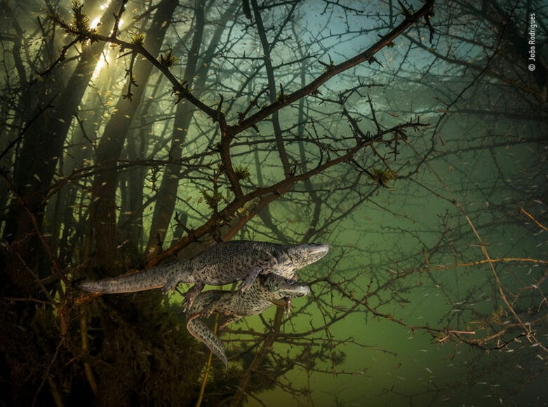 © João Rodrigues, Wildlife Photographer of the Year