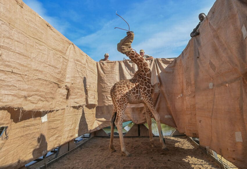 NATURE, SINGLES, 1st Prize, Title: Rescue of Giraffes from Flooding Island, © Ami Vitale, United States, for CNN